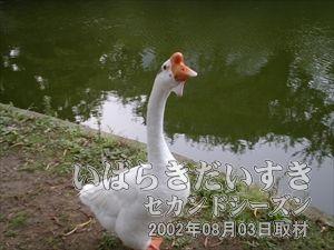 【白鳥】<br>この前、夜に来て撮影した際、フラッシュで驚かせてしまいました。ぐわぐわ。