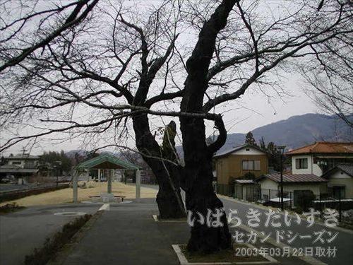 真壁駅ホーム の桜の木<br>大正05年に当時の真壁駅長が植えた桜の木。昭和2,30年頃までは10数本ありました。太平洋戦争で送り出されたり、集団就職などで出発する様子などを見守った、思い出の詰まった桜の木。
