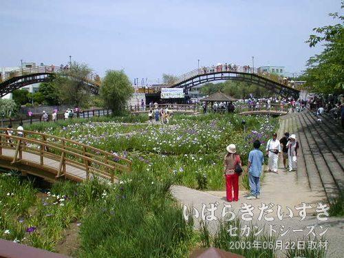水郷潮来 前川あやめ園たくさんの観光客で賑わっています。やたらと橋の数が多い印象。