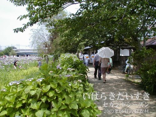 木陰下のあやめ<br>06月の潮来市の気候は初夏。日差しのある日は暑いので、木陰でゆっくり鑑賞するのも良いでしょう。
