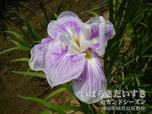 あやめの見頃は午前中かも<br>写真ではきれいに花開いているあやめを撮影していますが、多くはしおれています。午後はしおれるようです。