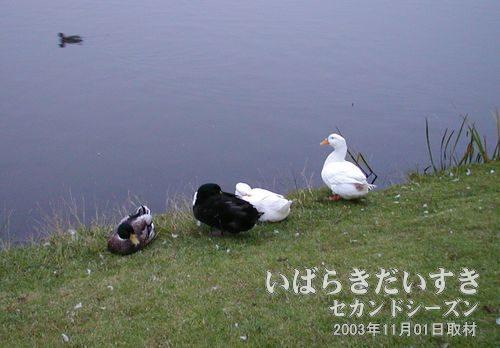 """鳥四連荘<br>左からカモ、黒鳥、白鳥、白鳥。""""やらせ""""のようにきれいに並んでいます。"""
