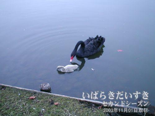 黒鳥とひな鳥<br>産毛がふわふわなひな鳥だにゃ~ん(´-ω-`)♪。黒鳥がひな鳥をつんつんしています。