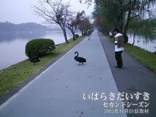 ウォーキングロードを横断する黒鳥右手の桜川から千波湖に移動する黒鳥。ビートルズのジャケットみたい。