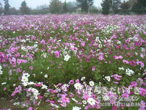 定聚の苑(じょうじゅのその)<br>極楽にいるかのような印象を与える、辺り一面のお花畑です。