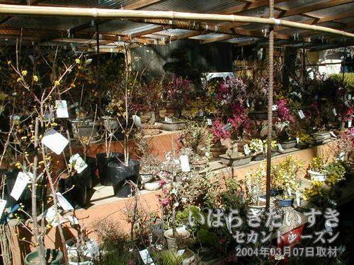盆栽を売る店<br>出店の中には、盆栽を売る店も出ています。