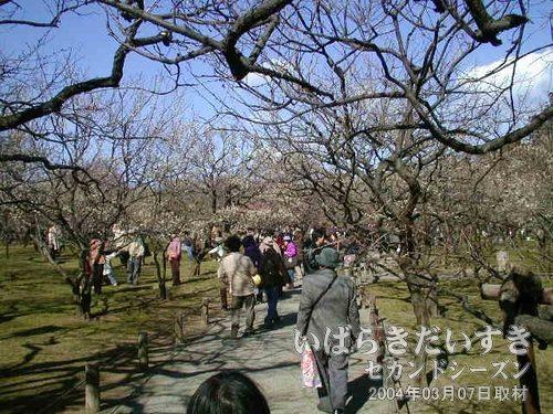 偕楽園 梅林<br>こうやって写真越しでは分かりづらいですが、今回の偕楽園の梅は7部咲きで、よく咲いています。