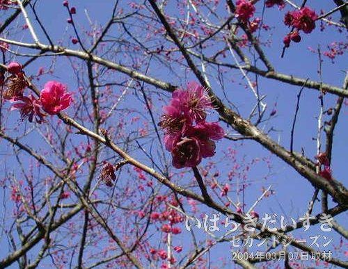 緋梅(ひばい)<br>ピンクの花びらに長いおしべの緋梅(ひばい)。少ししおれているのが残念です。