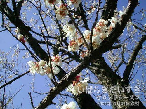 チャボ冬至<br>白く丸っこい花びらをつけているのがチャボ冬至。