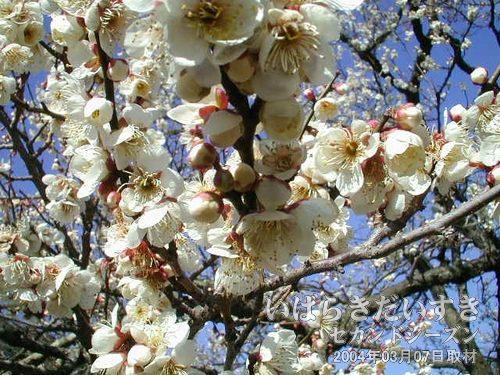 烈公梅(れっこうばい)<br>ぼてっとした花びらの烈公梅。