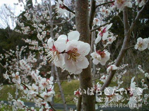 梅の花を見ながら休憩<br>畑に植えられている梅の木が満開状態。