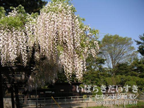 亀城公園の藤<br>ベンチ上の格子から、垂れ下がる藤の花が満開を迎えています。