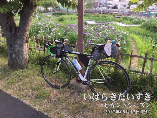 前川あやめ園とロードバイク<br>さすがにあやめ園内を自転車で散策するのは無理なので、がっちり観光したい場合は拠点(潮来での宿泊地)を設ける必要があるかもです。
