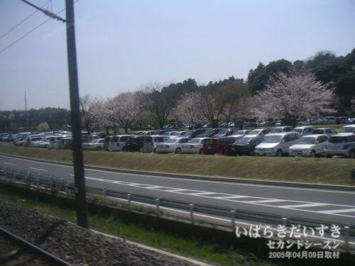 【 水戸 千波湖沿いの桜 】<br>千波湖の駐車場にも桜が咲いています。