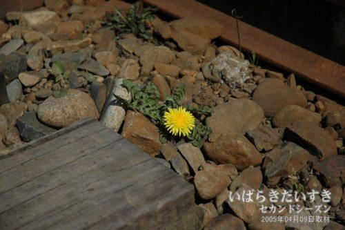 【 レール脇に咲くたんぽぽ 】<br>営業を終了してしまった日立電鉄線大甕駅のレールの脇には、新しい息吹が誕生しています。
