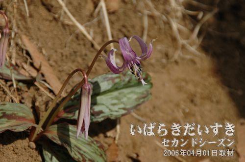 筑波山 かたくりの花<br>筑波山の男体山、女体山の途中、男体山側に「かたくりの里」があり、季節(03月下旬~04月下旬)に開園されます。※かたくりの時期以外は閉鎖。