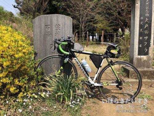 茨城百景 包括風景 大戸の桜