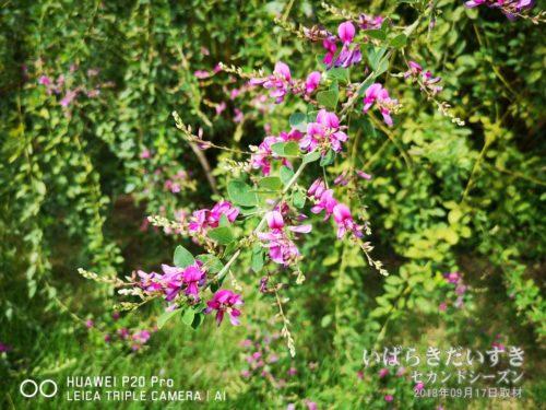 萩の花 / 水戸の萩まつり 偕楽園