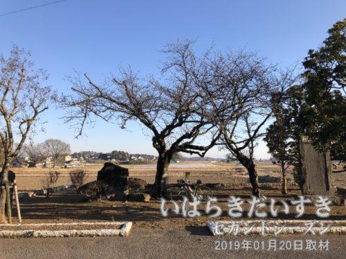 平将門の遺蹟 九重の桜