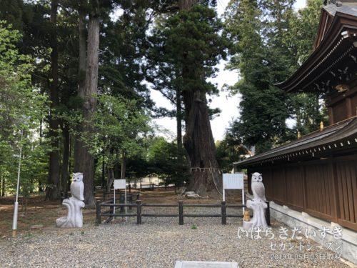 茨城百景 包括風景 安良川の爺杉