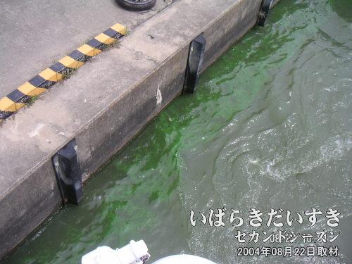 霞ケ浦のアオコ<br>気温、水温が上昇すると、水の汚れの影響でアオコが発生します。アオコは、昭和中期から水質問題になっています。