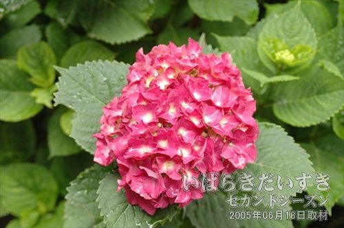 水戸のあじさいまつり<br>白幡山八幡宮の境内にはあじさいが咲きます。水戸のロマンチックゾーン。