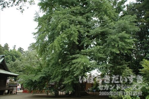 お葉付きイチョウ(国天然記念物)<br>樹高約35m、幹囲約6m。樹齢は500年とも言われ、葉の先に実を結ぶ事から「お葉付きイチョウ」と呼ばれています。