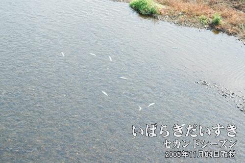 那珂川 鮭の遡上<br>秋口になると海から帰ってきた鮭の遡上を見る事ができます。写真は御前山地域にて。