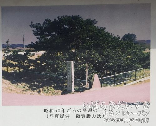 高須崎の一本松《初代》<br>案内板に掲載されている、初代の一本松。昭和50年頃に額賀勝力氏が撮影されたもの。