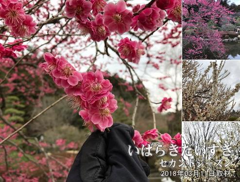 偕楽園 梅まつり<br>園内の梅は、早咲きの梅、遅咲きの梅など混合して植えられ、1ヶ月今日の期間中、梅の開花を楽しむ事ができます。
