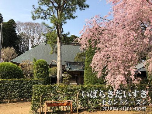 常照寺のしだれ桜<br>水戸市内には多くの桜の名所が存在します。
