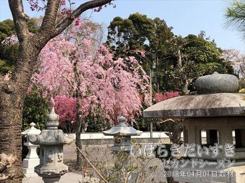 薬王院 駐車場の桜<br>薬王院の桜の木を撮影しました。