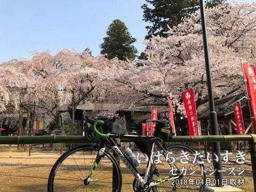 六地蔵寺のしだれ桜