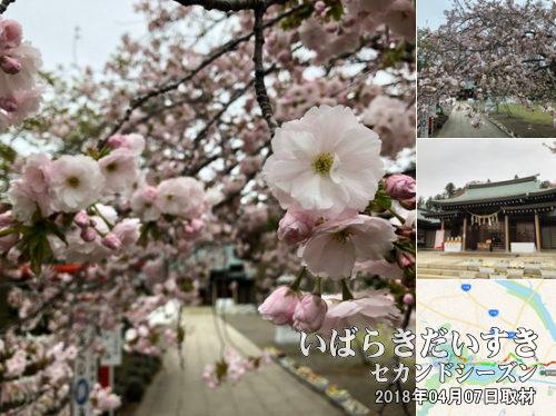 茨城県 護国神社<br>茨城県下の戦没者を祀る神社。春先には桜の木が咲き誇ります。
