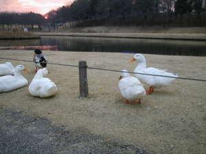 白鳥たちぽっちゃん湖に住みついているのでしょうか?