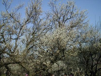 【梅の木】<br>せっかく梅の木を観に来たので、申し訳程度に撮影。