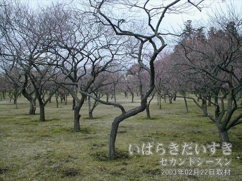偕楽園の梅<br>この時期はまだ、二分咲きとの事。