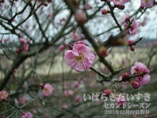 梅の花<br>梅を観賞しに来たのを忘れていました。二分咲でなかなか良い感じになりません。。