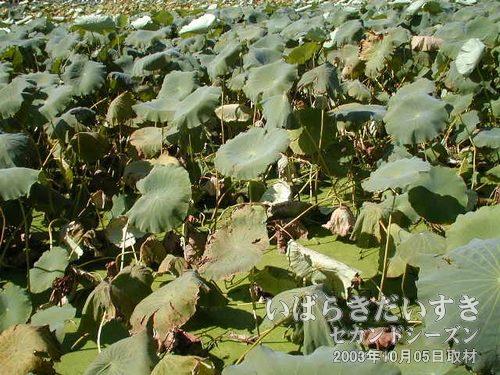 ハス畑<br>レンコンのまち、土浦において、ハス畑は日常の風景です(^^)。