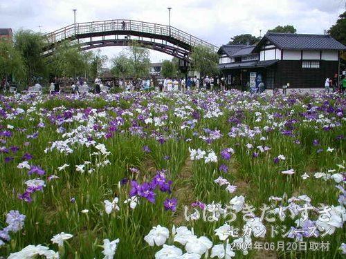 前川あやめ園 全景<br>やはり、というか、午前中の方がしっかりとあやめが咲いている気がしjます。