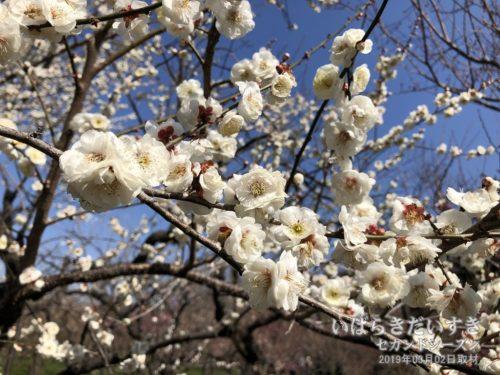 偕楽園内では、梅は55%の開花率。