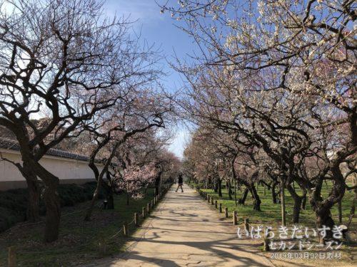 弘道館公園の梅は、梅鑑賞の穴場かも。