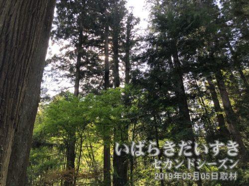 大杉(三本杉) 県指定文化財<br>地上10メートルのところで三本に分かれているので、通称「三本杉」と呼ばれています。樹高48メートル、幹囲8.5メートル、樹齢700年を経ています。