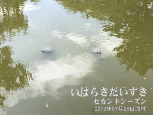 亀城公園の名称の由来は、冠水時に亀の甲羅のように島が残るから、というのがありますが、後付け?で池に亀がいます。