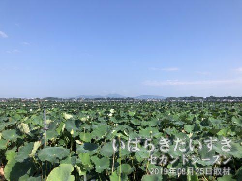 作品 ハス畑越しの筑波山<br>土浦はレンコンの生産量が日本一。遠くには筑波山が望みます。