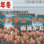 アイスチューリップ 雨滴が美しい 国営ひたち海浜公園 / 茨城県ひたちなか市