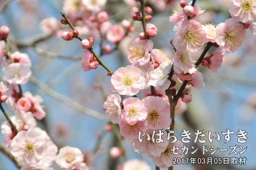 梅の花_水戸_偕楽園