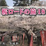 茨城県 桜 ロードバイク 2018 水戸市 茨城町