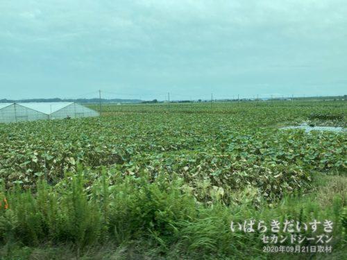 常磐線の車窓からは、ハス畑が広がります。〔土浦市、かすみがうら市〕