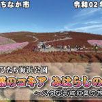 紅葉のコキア みはらしの丘 令和02年10月26日 茨城県ひたちなか市 国営ひたち海浜公園